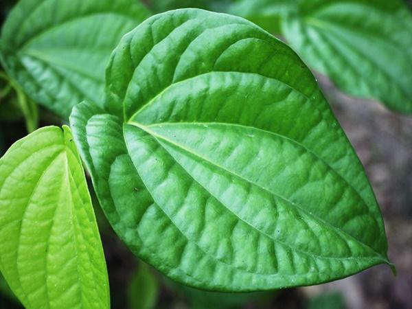 Các loại lá thiên nhiên được sử dụng nhiều để xông hơi làm đẹp