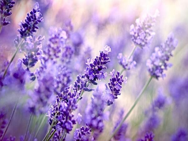 Tinh dầu hoa oải hương có tác dụng giảm stress hiệu quả